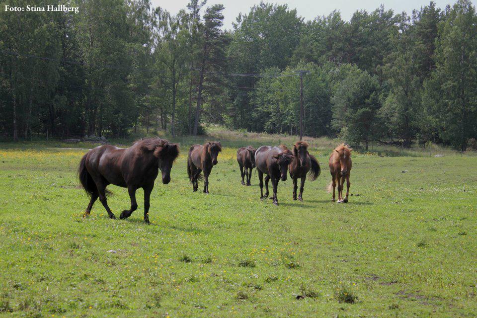 Hästarna. Foto: Stina Hallberg